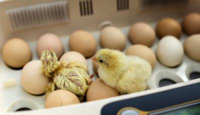 Incubare le uova