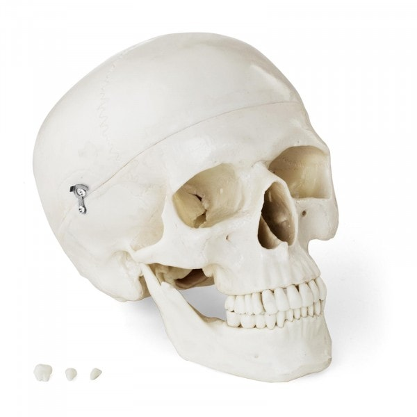 Schädel-Modell - weiß