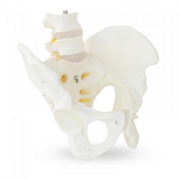 Skelett Becken-Modell mit Lendenwirbel - männlich