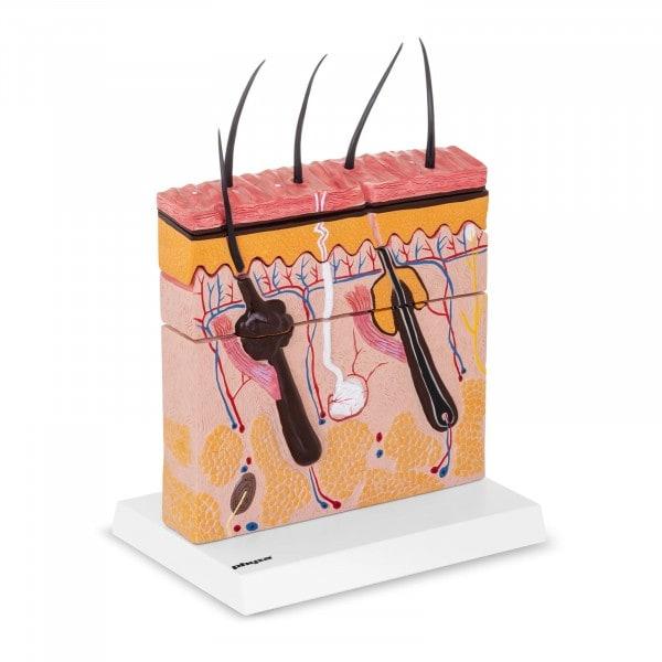 Haut Anatomie Modell