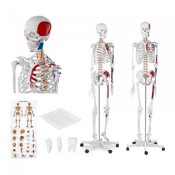 Skelett Modell PHY-SK-2 - lebensgroß