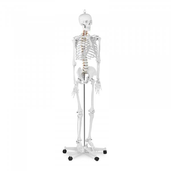 Skelett Modell PHY-SK-1 - lebensgroß